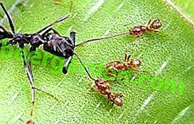 Ennemis d'insectes ennuyeux - qui mange des fourmis?