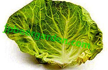 Guérisseur avec un potager ou des feuilles de chou en médecine populaire