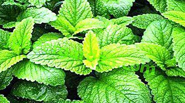 Une plante au goût délicat et rafraîchissant - la mélisse.  L'utilisation de citron menthe