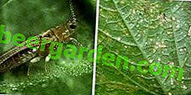 """""""Klein und heimtückisch"""" als Thripse in Chrysanthemen und anderen Pflanzen zu bringen"""