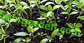 Les premiers efforts des jardiniers: le moment de la plantation de poivre pour les semis dans la région de Leningrad, Irkoutsk et Vologda, régions du centre de la Russie
