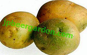 Les pommes de terre deviennent vertes et noires pendant le stockage - pourquoi cela se produit-il?  Comprendre les causes de la maladie