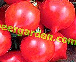 Caractéristiques et description de la variété de tomates bien établie Primadonna F1