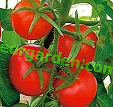 """Come raccogliere un doppio raccolto di pomodori precoci """"Anyuta F1"""": descrizione della varietà, consigli per la cura"""