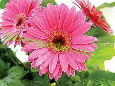 Gerbera belle fleur de graines!  Plantation et entretien à domicile