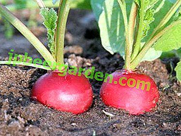 Wie kann man Radieschen düngen und wie kann man es nach der Keimung füttern?