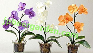 Разберете колко живее орхидеята.  Възможно ли е да подмладите цвете и как да го направите?