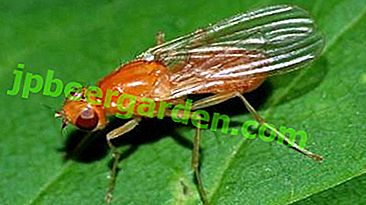Wskazówki dla ogrodników: jak przetwarzać marchew z muszki marchwi i jak zapobiegać pojawianiu się owadów?