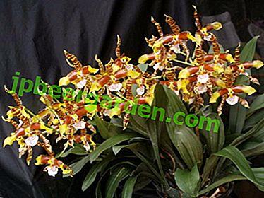 Све о тиграстој орхидеји: како узгајати и цвјетати код куће?