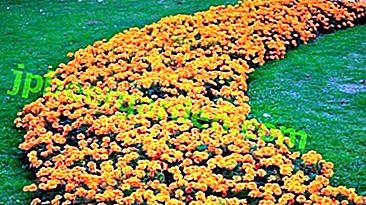 Декорация на цветни лехи - зашеметени невенчета.  Описание, снимка, нюанси на отглеждане