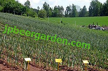 Cultivarea corectă a usturoiului ca afacere: rentabilitate, planuri și tehnologii de cultivare