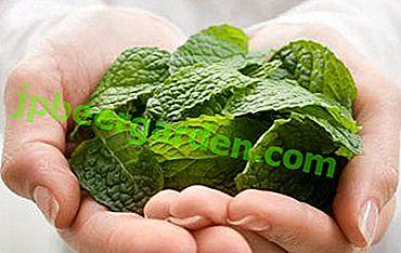 Натуральні трави для здоров'я жінки при вагітності: корисна чи шкідлива меліса в цей період?