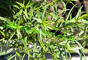 Особливості вирощування тархуна - де посадити на ділянці і вдома, яку вибрати грунт?