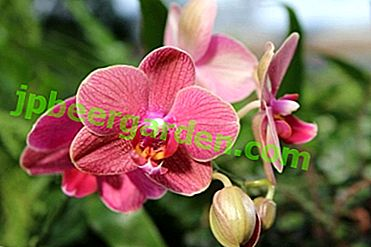 Origine de la fleur: d'où vient l'orchidée?
