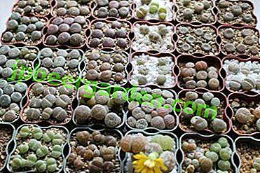 """""""Lebende Steine"""" aus Samen zu Hause?  Empfehlungen für den Anbau von Lithops"""