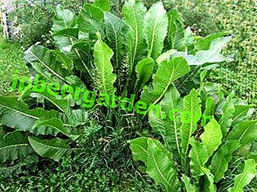 Il rafano è sempre necessario per la padrona di casa.  Come coltivare questa pianta?