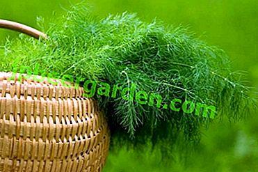 Тайните на отглеждането на копъра.  Кога да засадите семена в открита земя?