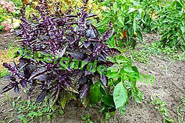 Subtelności uprawy bazylii w domu, na wsi, na balkonie.  Jak wygląda pikantna trawa - słońce czy cień?