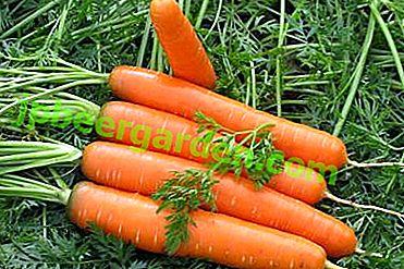Eine früh reife Tushon-Karotte.  Beschreibung, Unterschiede, Anbau