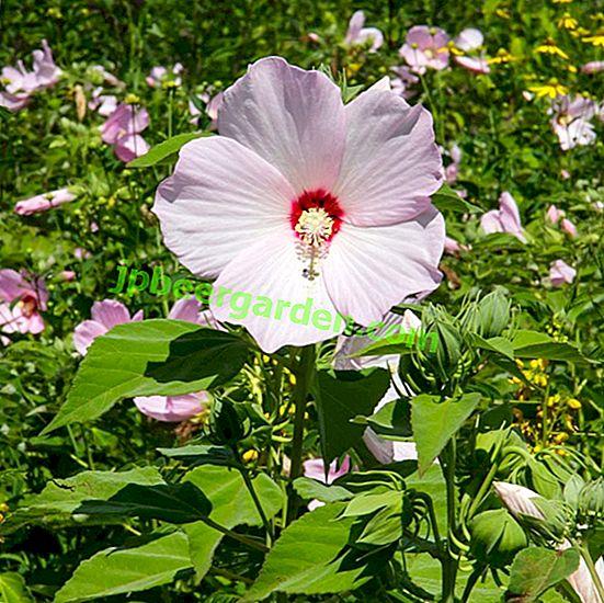 pierderea în greutate hibiscus luna)