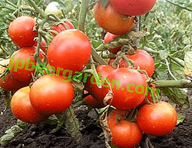 """Wysoka wydajność z pomidorem """"Dubok"""": charakterystyka i opis odmiany, zdjęcia, cechy uprawy pomidorów"""