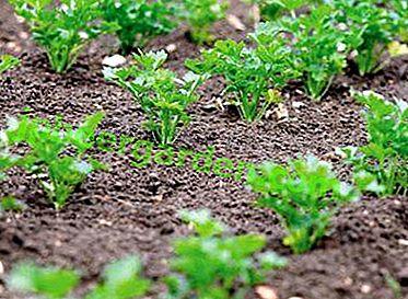 Jak uzyskać dobry plon pietruszki?  Kiedy jest sadzony wiosną na otwartym terenie?