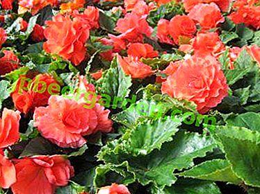 Грижа за растение през зимата.  Как да спасим грудката бегония?