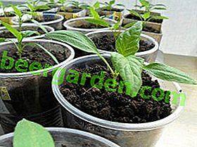 Покроковий алгоритм вирощування перцю: посадка і догляд за розсадою, своєчасна пікіровка, правильне прищипивание, загартовування і висадка у відкритий грунт