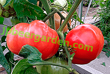 Noua varietate de tomate cu apă gură Grandma's Secret: descrierea soiului, fotografie, descriere