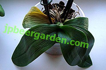 Как да помогнем на орхидея, ако листата й са сухи?  Защо това се случва и защо феноменът е опасен?
