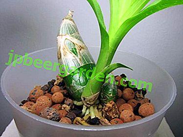 Il ruolo dello pseudobulbo nella vita di un'orchidea.  Cos'è, dove si trova, come prendersi cura?  Tipi di fiori con foto