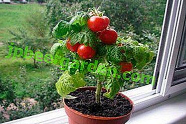 Плюсове и минуси при отглеждането на саксии с домати.  Същността на метода и описанието