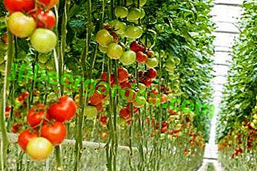Дивовижне вирощування рослин в перевернутому вигляді.  Як посадити помідори догори ногами?
