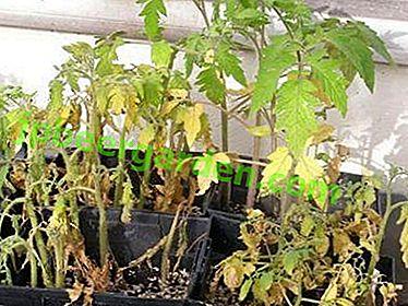 Cosa fare se le piantine di pomodoro a casa cadono, si ammalano o hanno altri problemi?