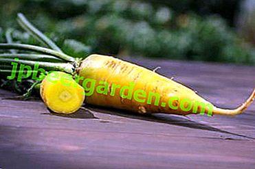 Все про жовтої моркви: від історії селекціонування до посадки і збору врожаю