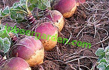 «Шведська ріпа» російською городі: вирощування брукви і догляд за овочевою культурою