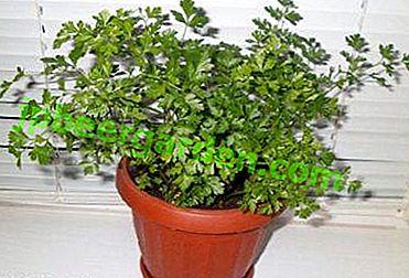 Tutte le sfumature del prezzemolo in crescita dai semi sul davanzale della finestra nell'appartamento o sul balcone.  Analisi di possibili problemi