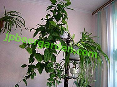 """Der """"Baum des Schicksals"""" zu Hause: Warum blüht das Clerodendrum nicht, wie kann man dafür sorgen, dass es richtig gepflegt wird?"""