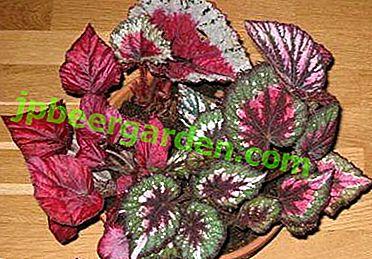 Огляд сортів бегонії з яскраво-червоним листям.  Як вирощувати це кімнатна рослина?
