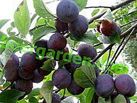Prune de jardin: simple, savoureuse, nécessaire, saine