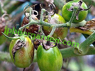 Як боротися з фітофторою на помідорах: покрокова інструкція