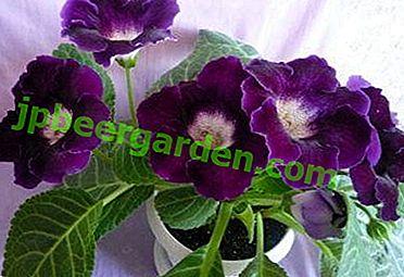 """Caractéristiques des soins pour le """"Tropicana"""" - gloxinia à la maison"""