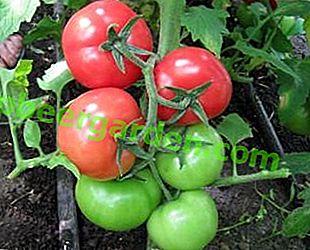 """Tomaten """"Weiße Füllung"""" hitze- und kältebeständig: Beschreibung und Eigenschaften der Sorte, Merkmale des Tomatenanbaus"""