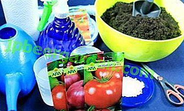 Нюанси підготовки насіння томатів до посіву на розсаду в домашніх умовах і поради, як самому зібрати матеріал