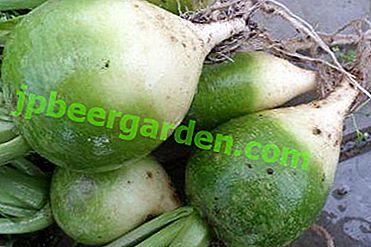 Właściwości zielonej rzodkiewki są użyteczne i niezbyt dobre.  Co jest dobre dla zdrowia ludzkiego i jakie są przeciwwskazania?