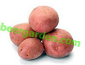 Картопля Беллароза: урожайний, скоростиглий, посухостійкий