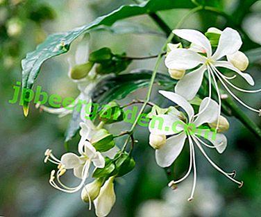 Clérodendrum parfumé de Wollich - Caractéristiques et règles d'entretien