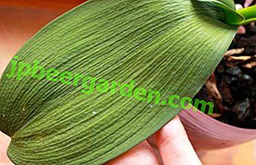 Защо листата на орхидеята загубиха тургор и се намръщи?  Как да върнем здрав вид на растение?