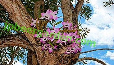 Merkmale des Wachstums von Phalaenopsis in der Natur und ihre Unterschiede zu kultivierten Arten