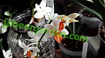 Verfeinerung und Schönheit: Phalaenopsis Mini Mark.  Orchideenpflege